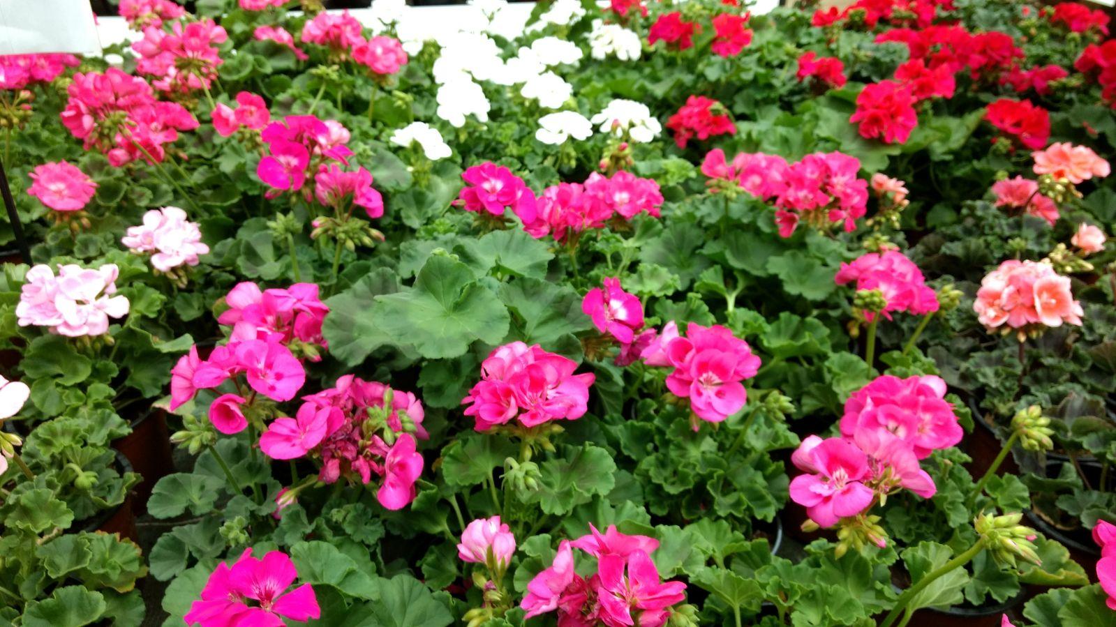 Flores en mayo: Geranios