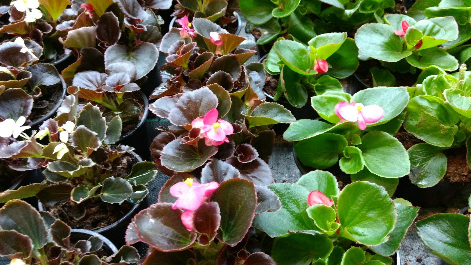 Flores en mayo: Begonias