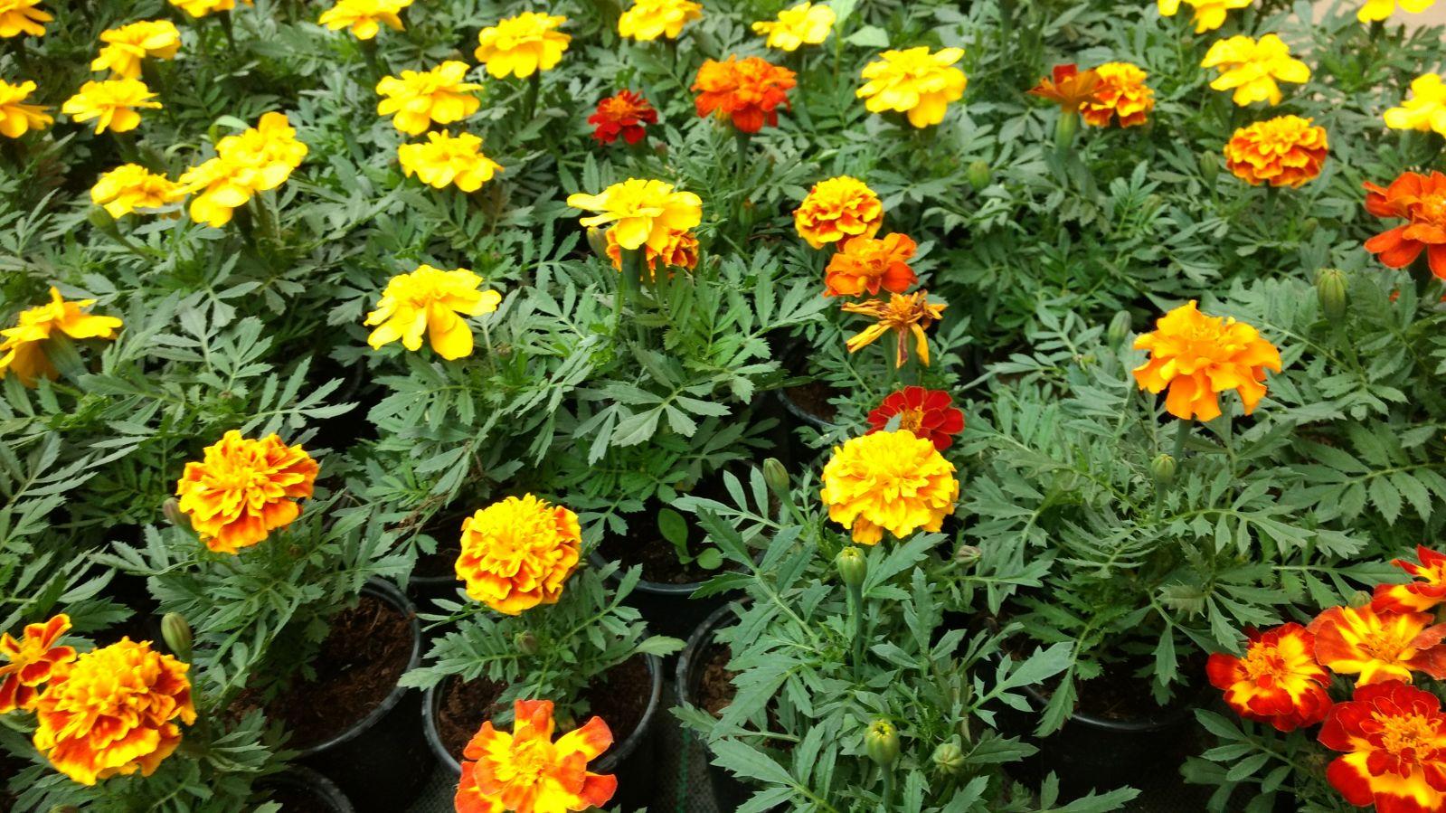Flores en mayo: Tagetes