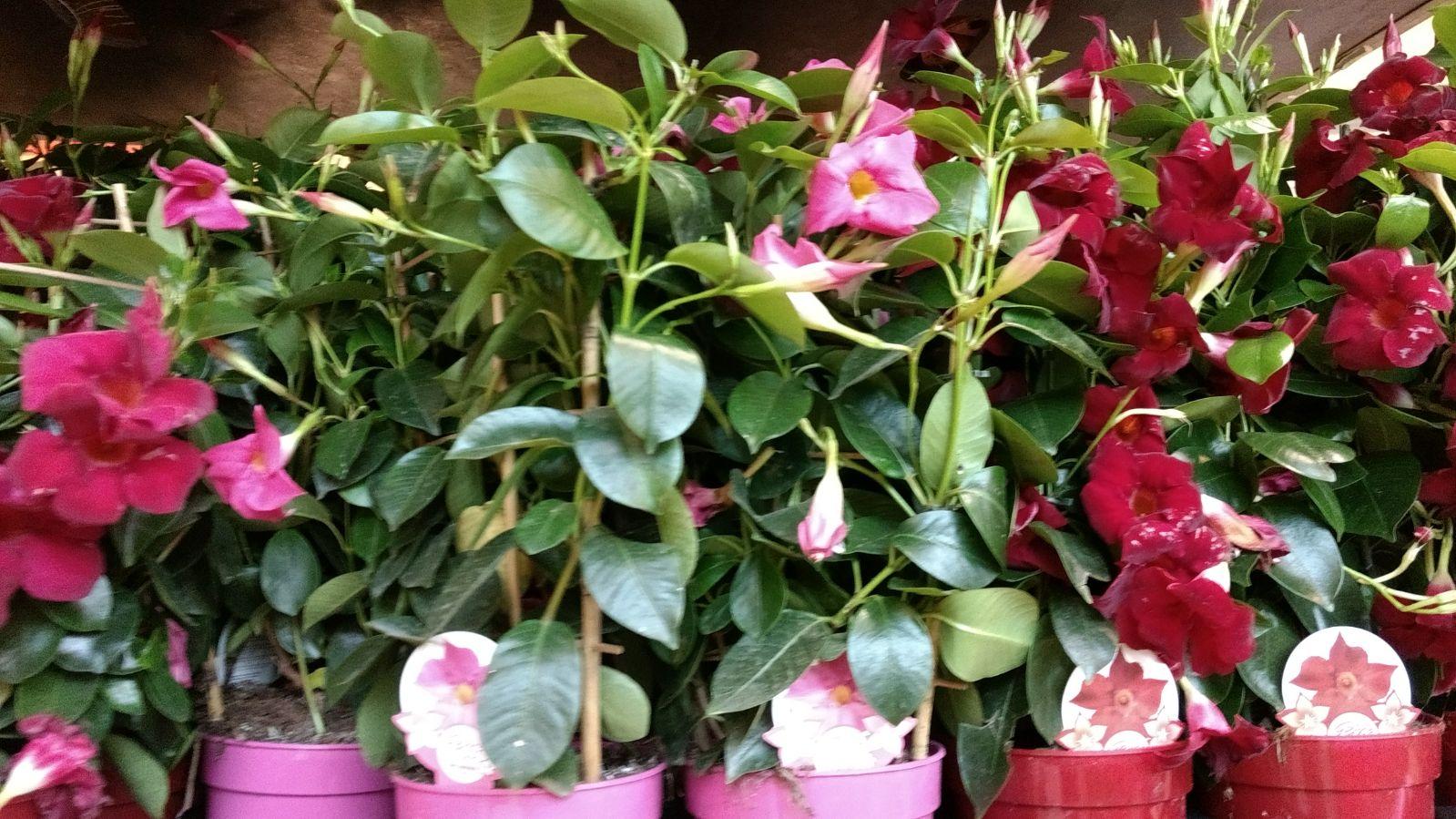 Flores en mayo: Dipladenia