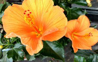 Plantas para el verano: hibiscus