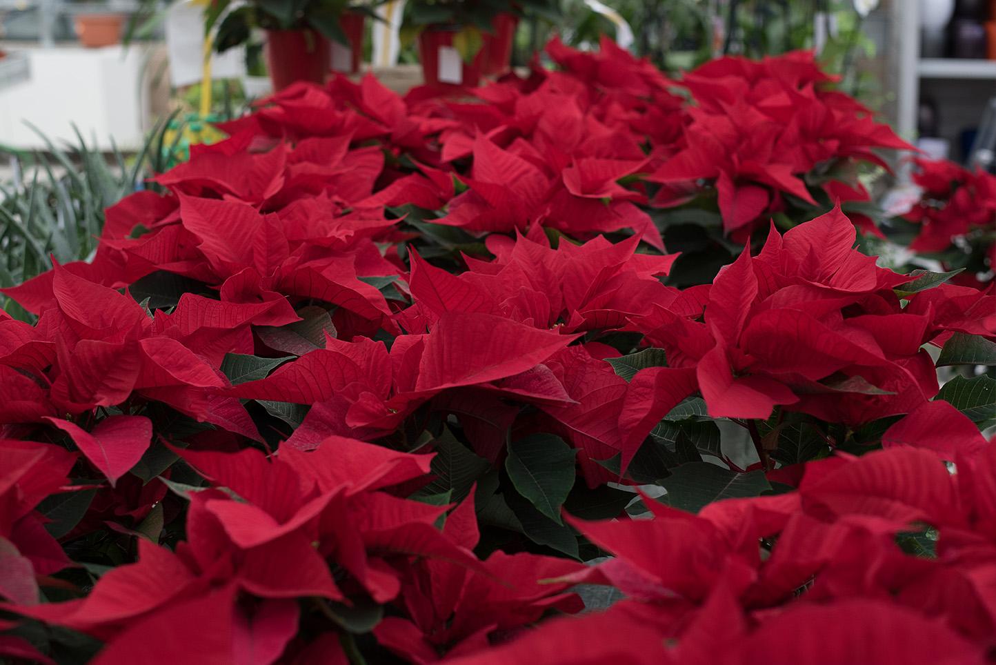 Centro de Jardinería Gorbeia - Flor de Pascua