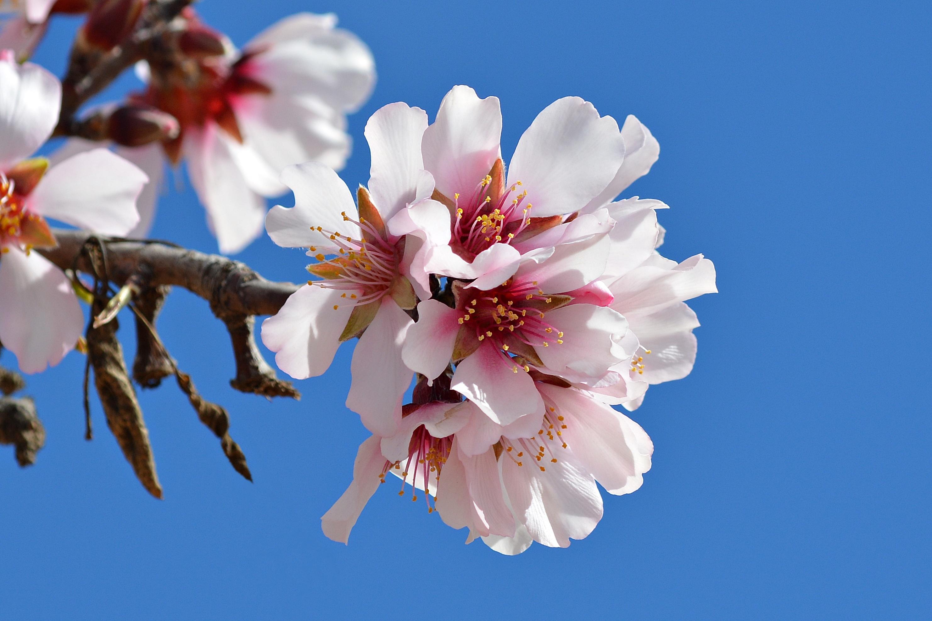 La primavera en flor: La flor del almendro