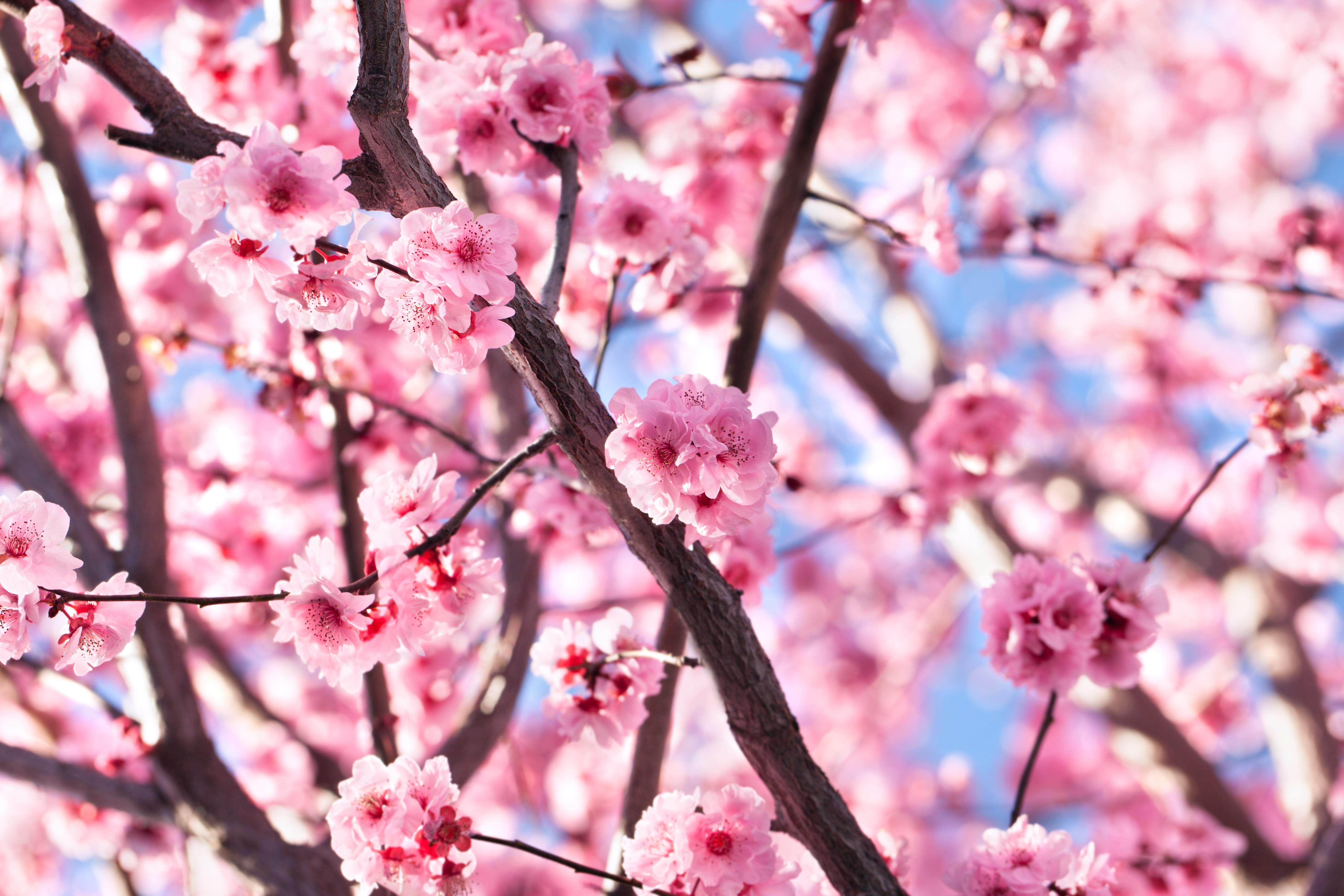 Primavera en flor: Flor del cerezo