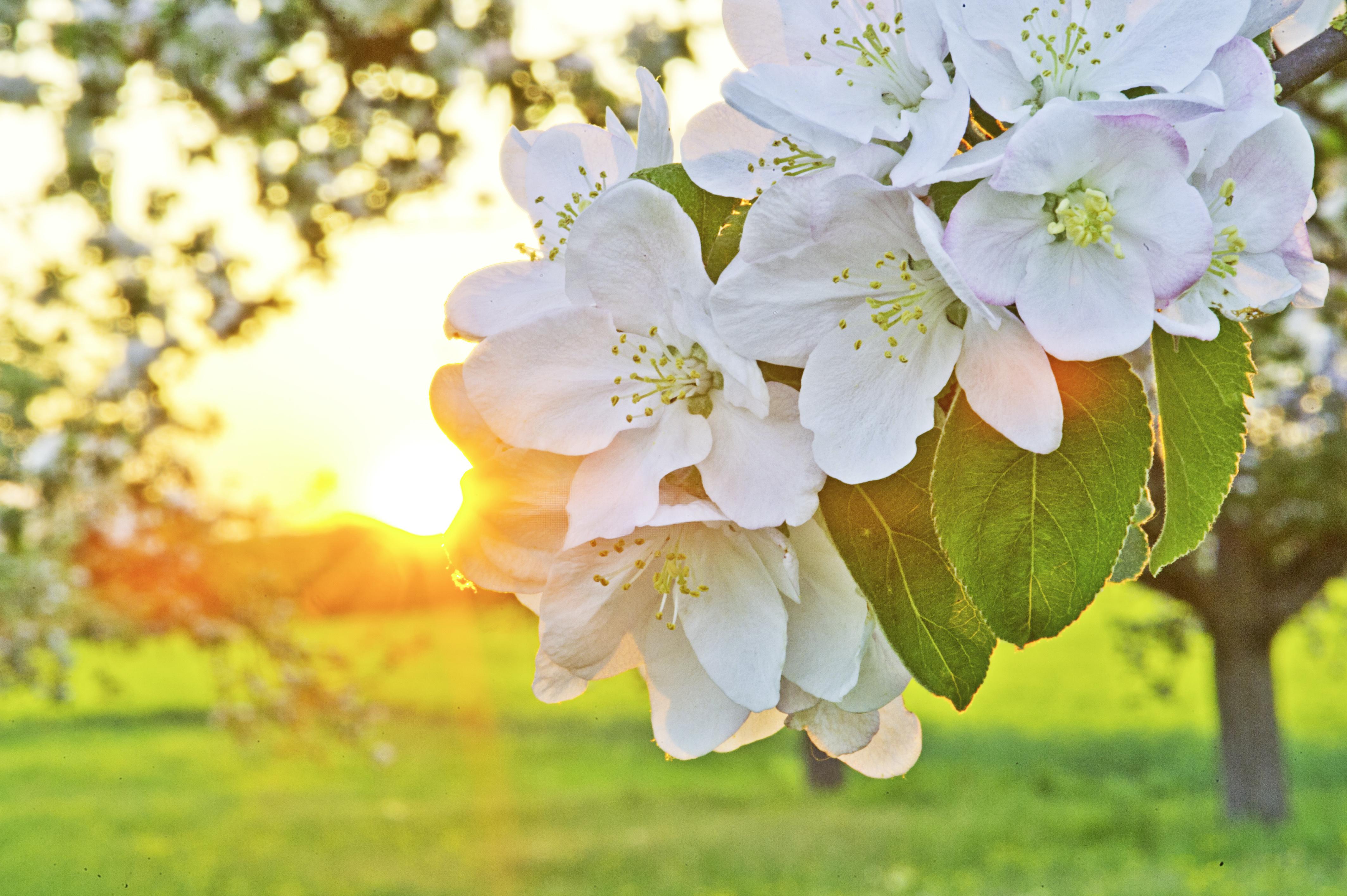 Primavera en flor: Flor del manzano
