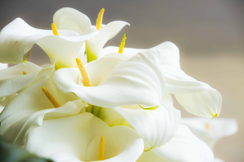 Día de la Madre, regala plantas: calas