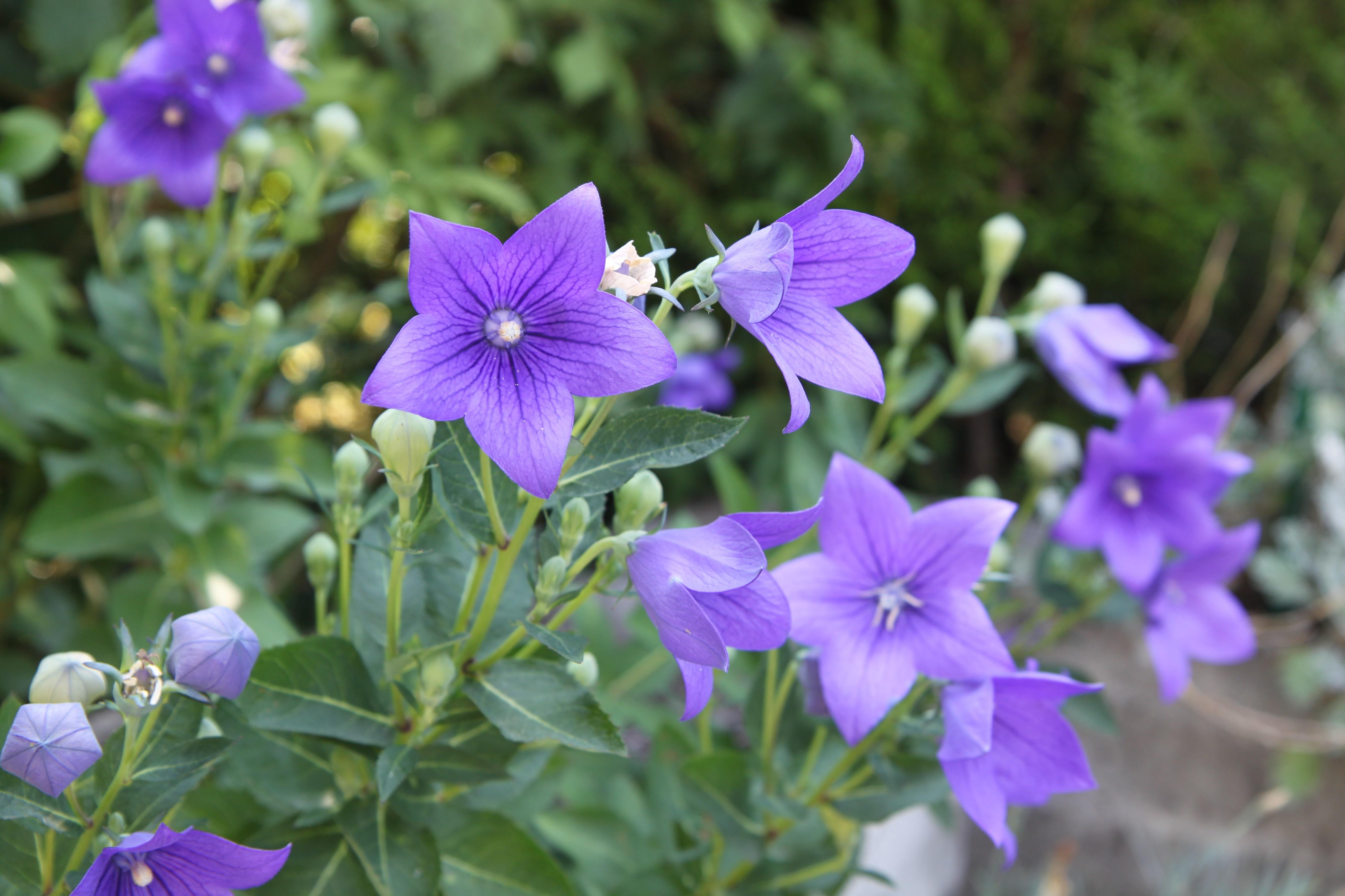 Día de la Madre; regala plantas: campanulas