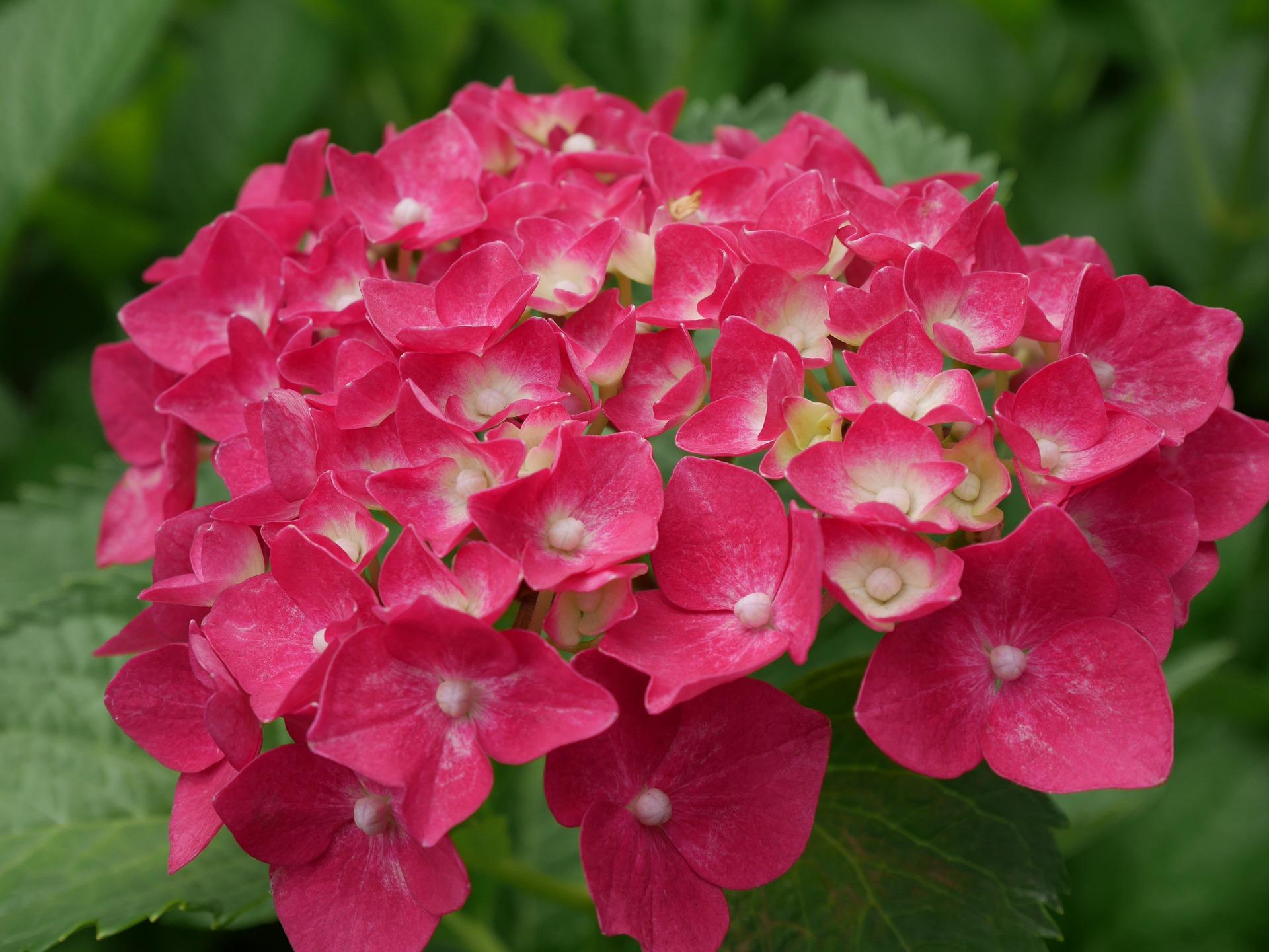 Hortensias - Abril en el jardín