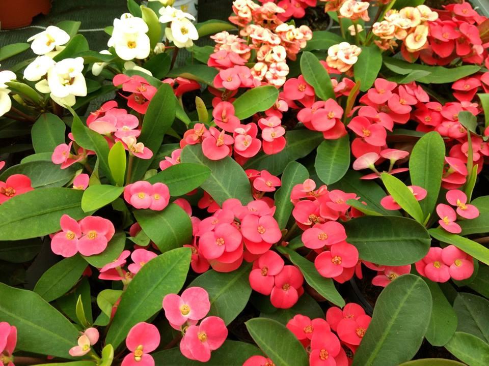 """Euphorbia milii o """"espina de Cristo""""."""