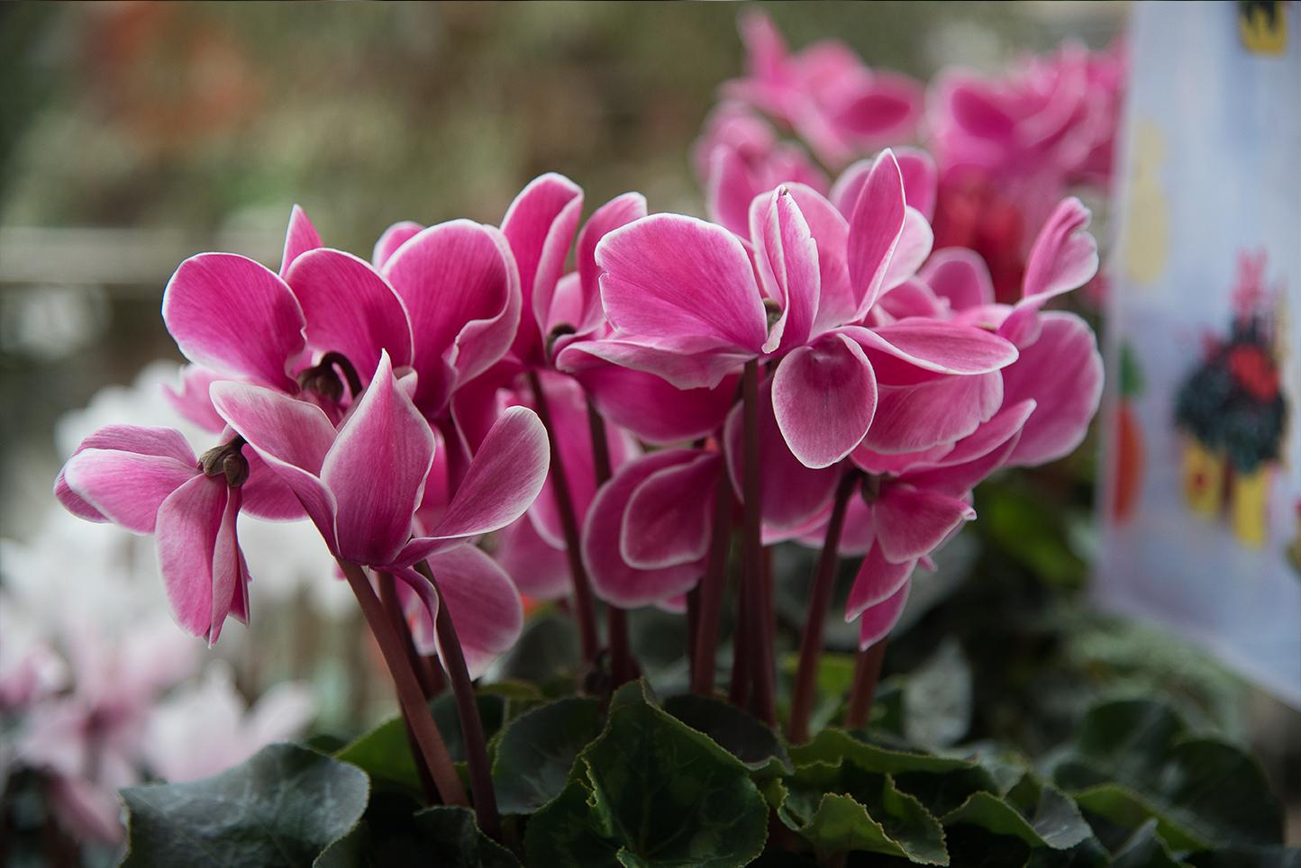 Flores de otoño: ciclamen