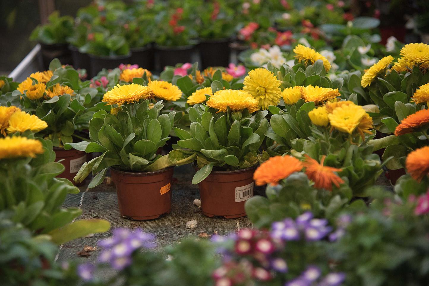 Flores de otoño: Caléndulas