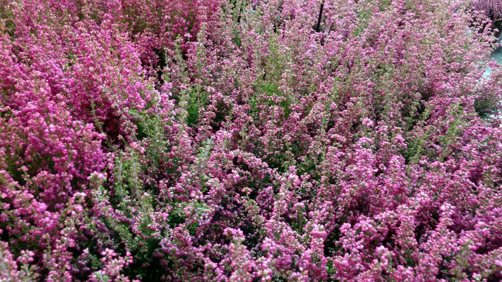 Flores de otoño: erica