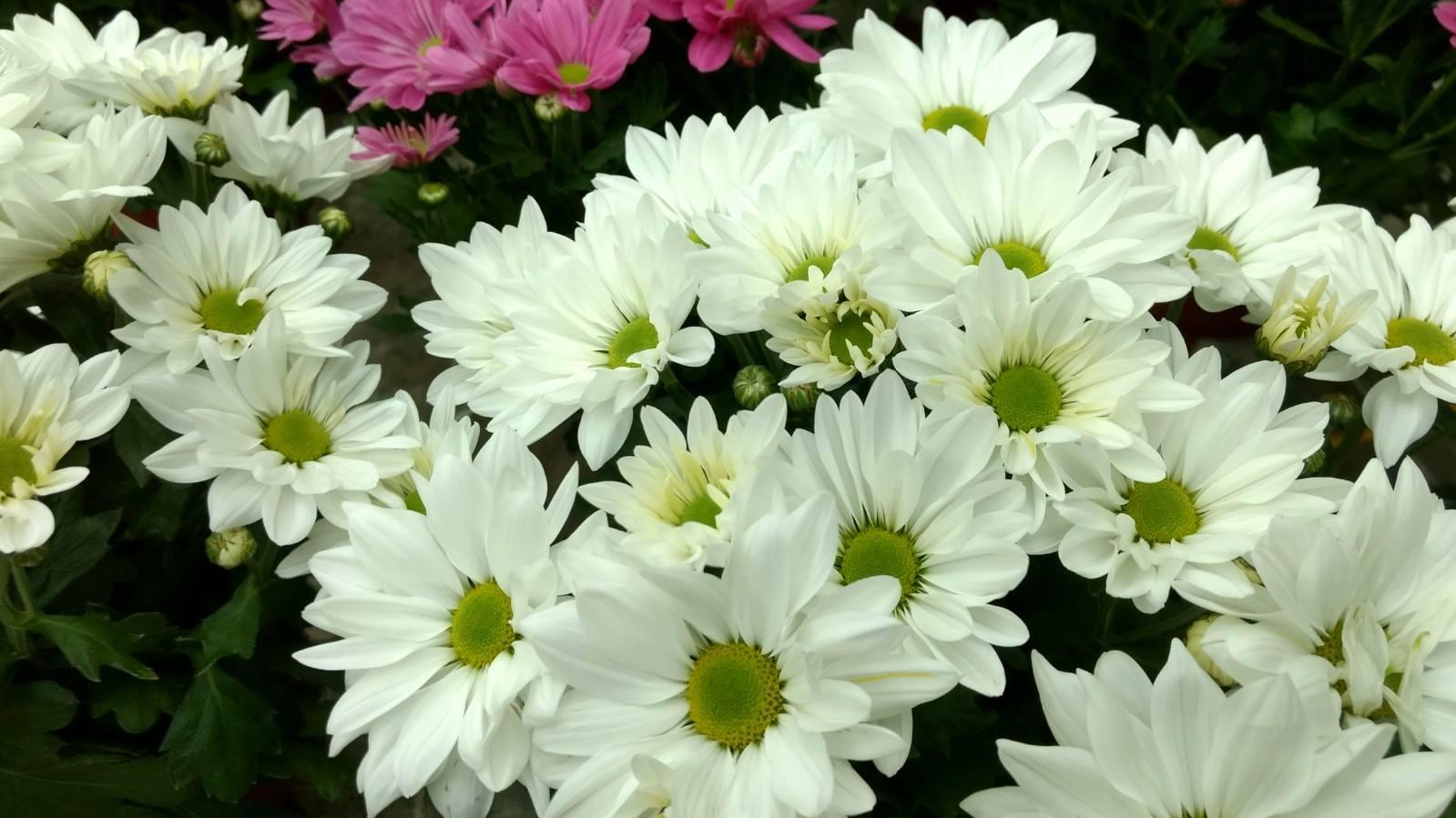 Flores de otoño: crisantemos
