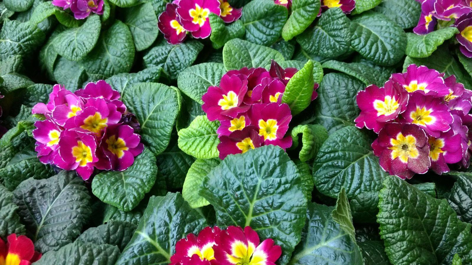 Flores de otoño: prímulas