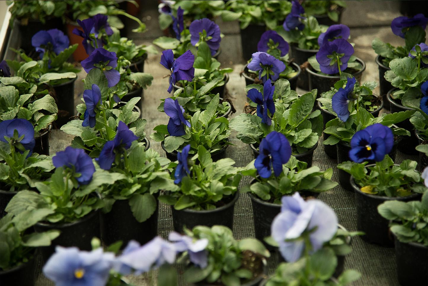 Plantas de otoño en Vitoria Gasteiz: Pensamientos