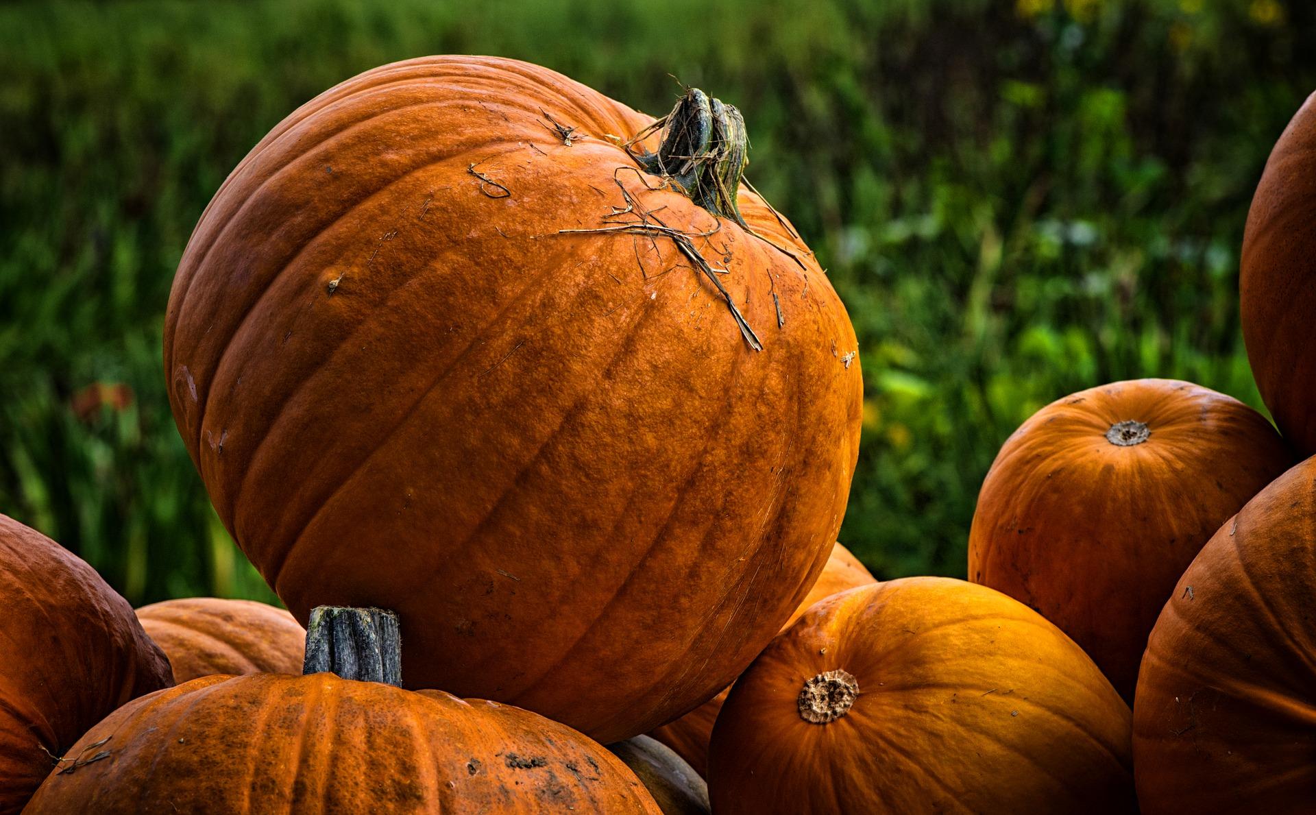 Octubre en la huerta: Recoger calabazas