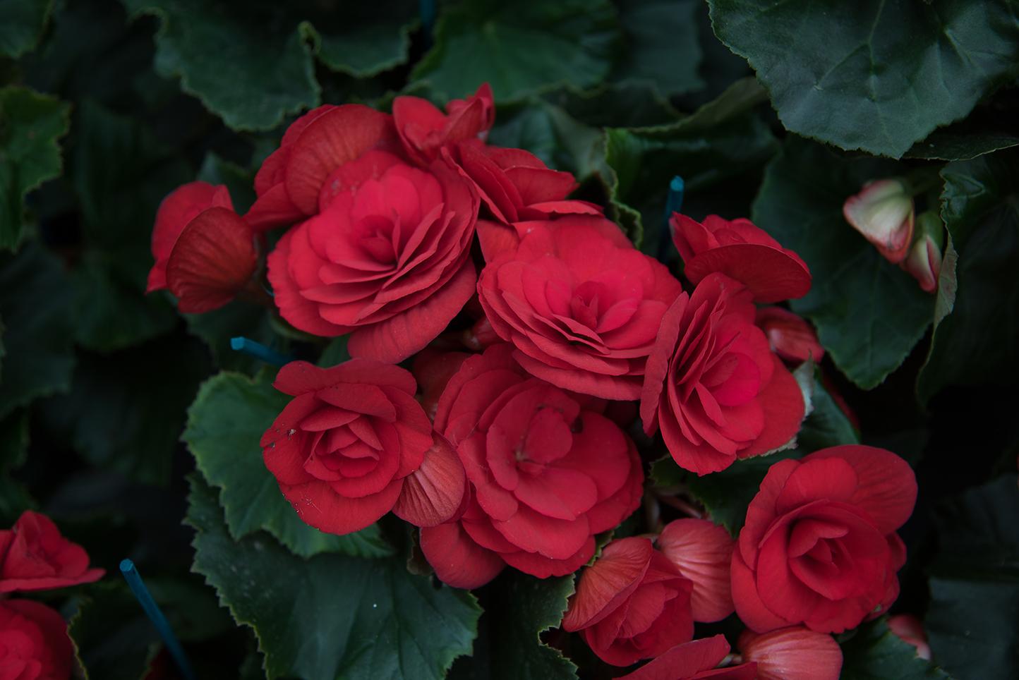Comprar rosales en Vitoria Gasteiz