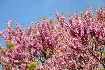 Cercis siliquastrum, árbol del amo o árbol de Judas
