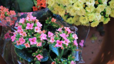 Kalanchoe - Primavera en Gorbeia