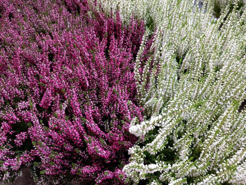 Comprar plantas de otoño en Vitoria Gasteiz: Brezos