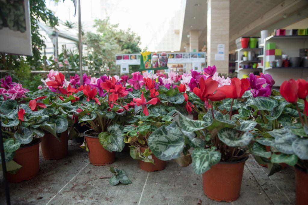 Comprar plantas de otoño en Vitoria Gasteiz: ciclamen