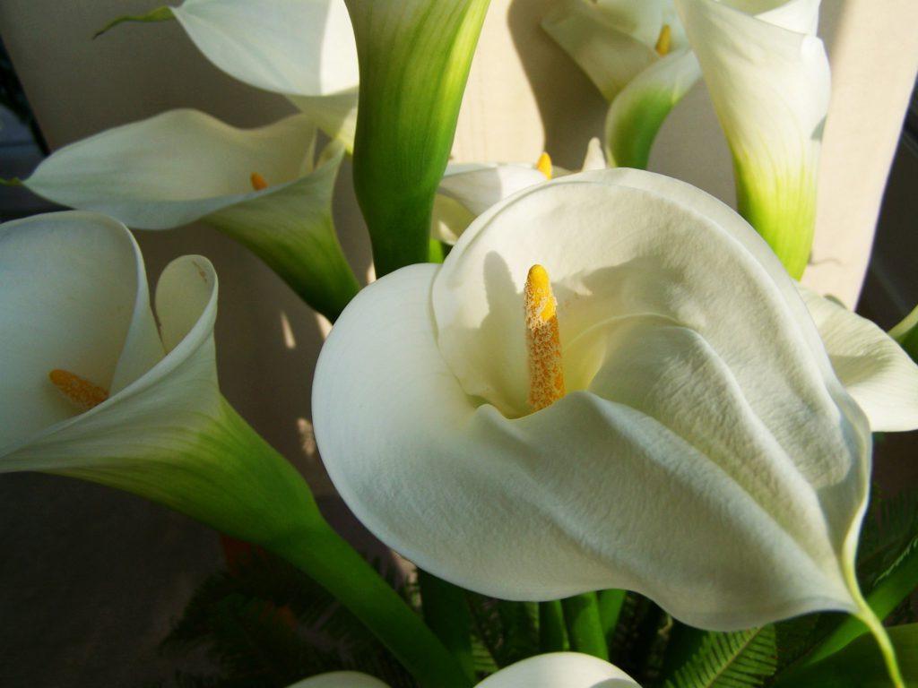 Comprar flores para Todos los Santos en Vitoria Gasteiz: Calas o Lirios de Agua