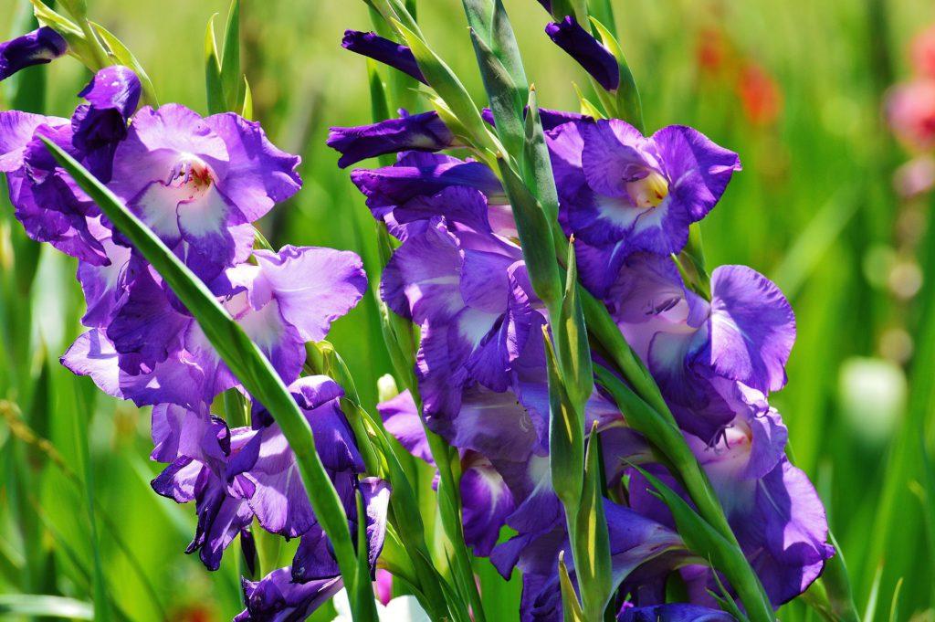 Comprar flores para Todos los Santos en Vitoria Gasteiz: Gladiolos