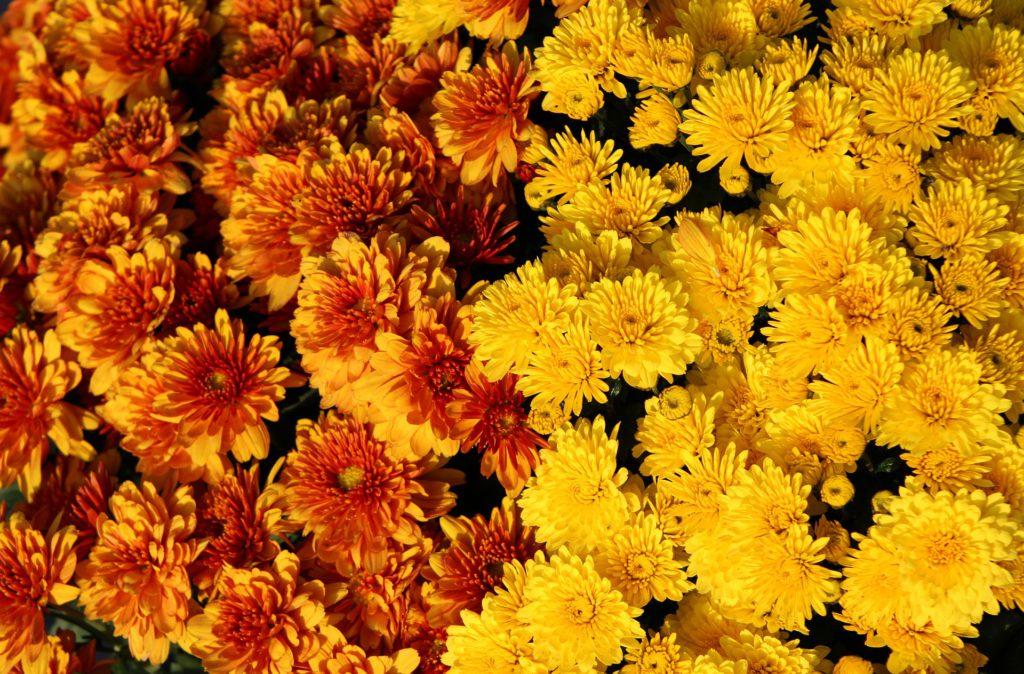 Comprar flores para Todos los Santos en Vitoria Gasteiz: Crisantemos