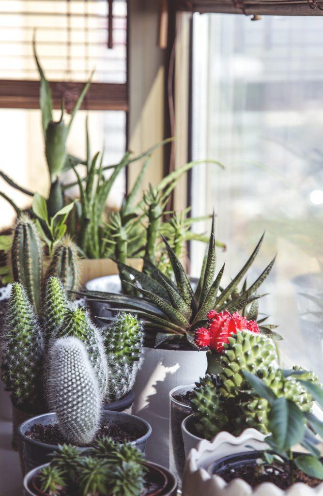 Cactus, crasas y suculentas