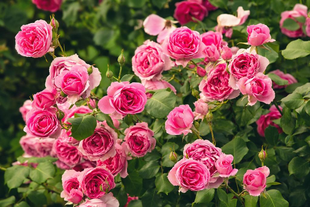 Cómo plantar los rosales. Rosal florecido en un jardín.