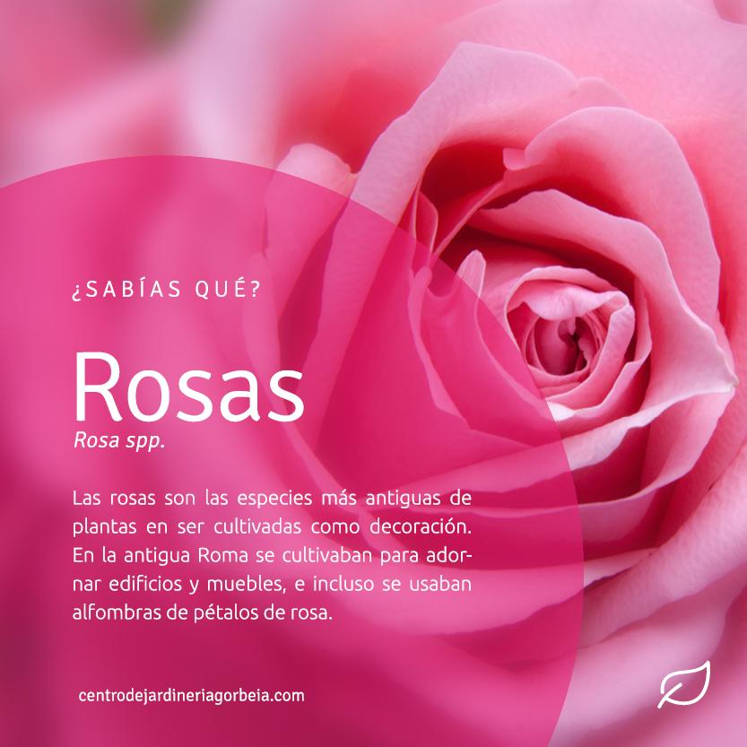 Curiosidades de las plantas: Las rosas son las especies más antiguas en ser cultivadas como decoración.