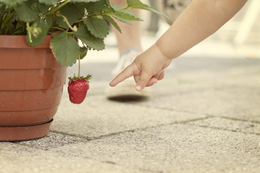 Plantas fáciles de cuidar para niños: fresas