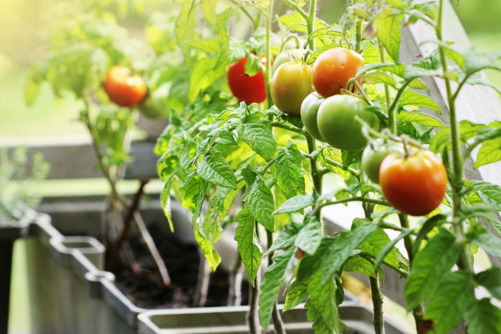 Cómo tener un huerto urbano en casa: plantar tomates en el balcón