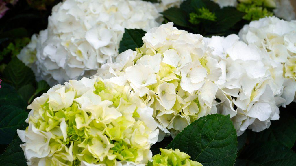 Hortensias: las flores más populares de la primavera
