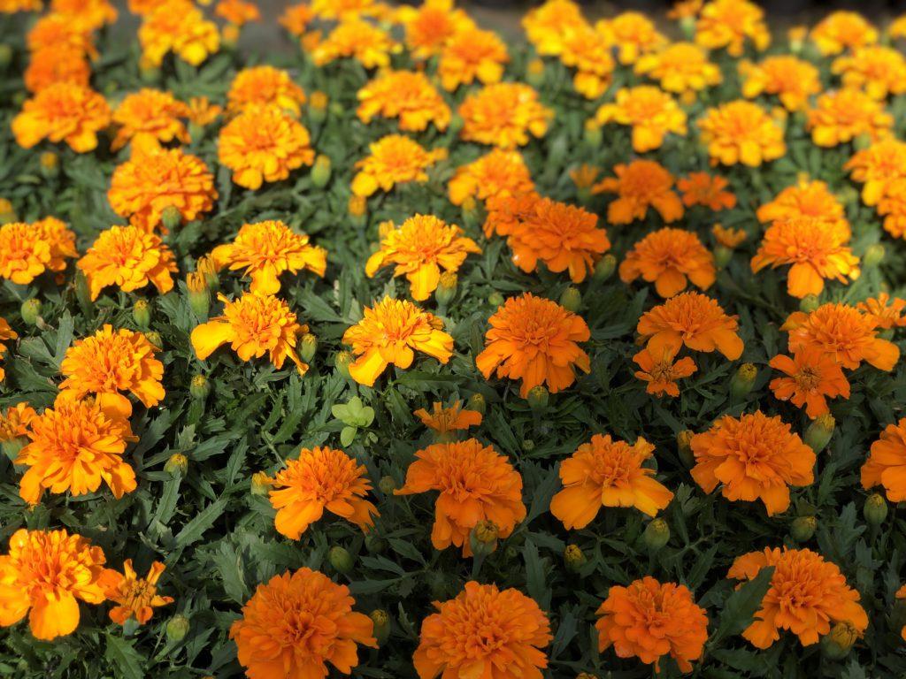 Plantas para el verano en Vitoria Gasteiz: tagete