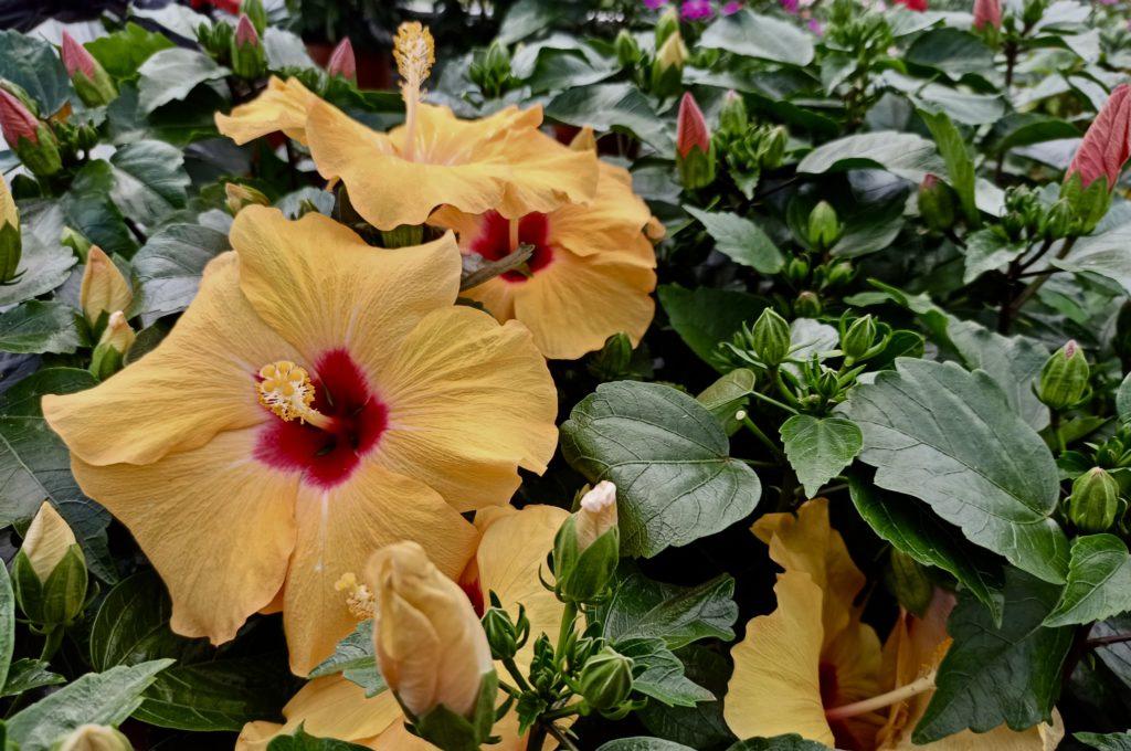 Plantas para el verano en Vitoria Gasteiz: Hibiscus