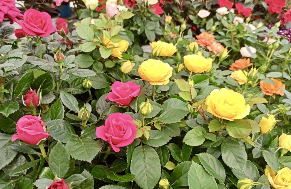 Plantas para el verano en Vitoria Gasteiz: Rosal de pitiminí