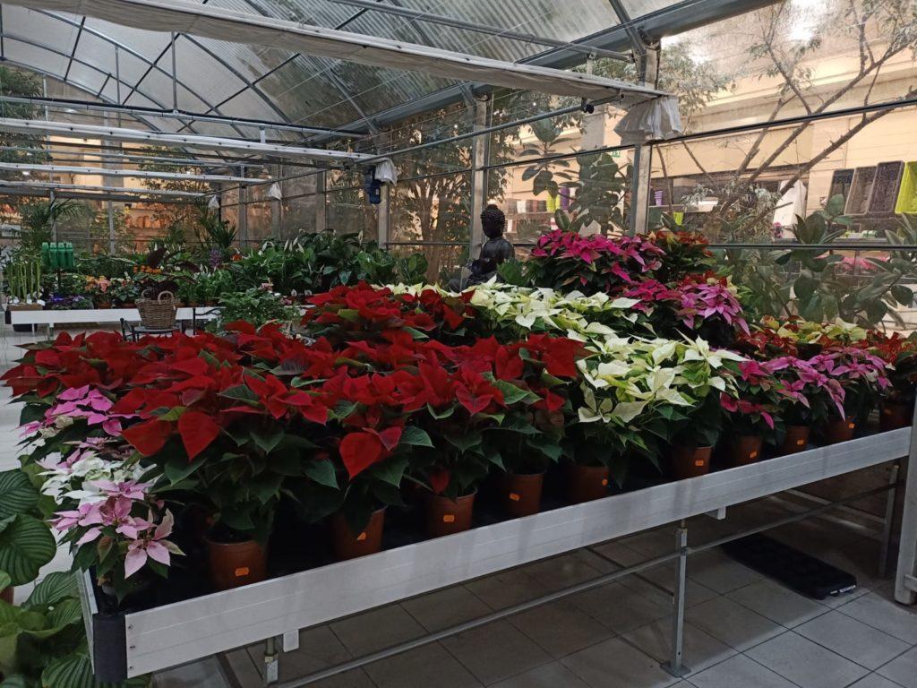Flores de Pascua en el Centro de Jardinería Gorbeia