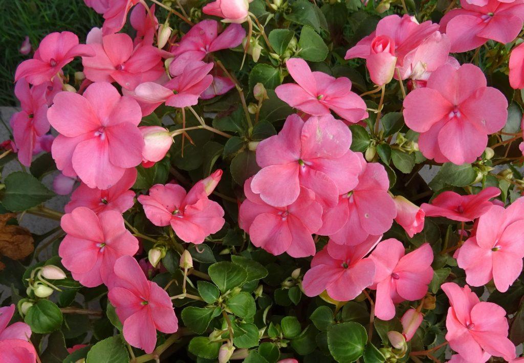 Flores de primavera para exposición al sol: alegría de la casa