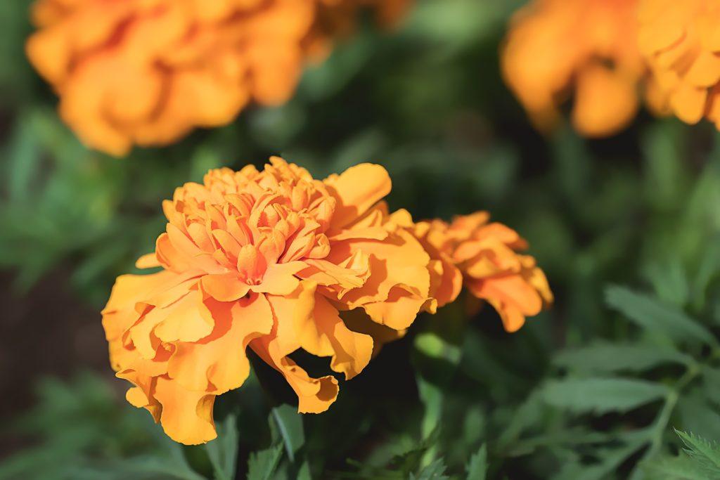 Flores de primavera para exposición al sol: tagete