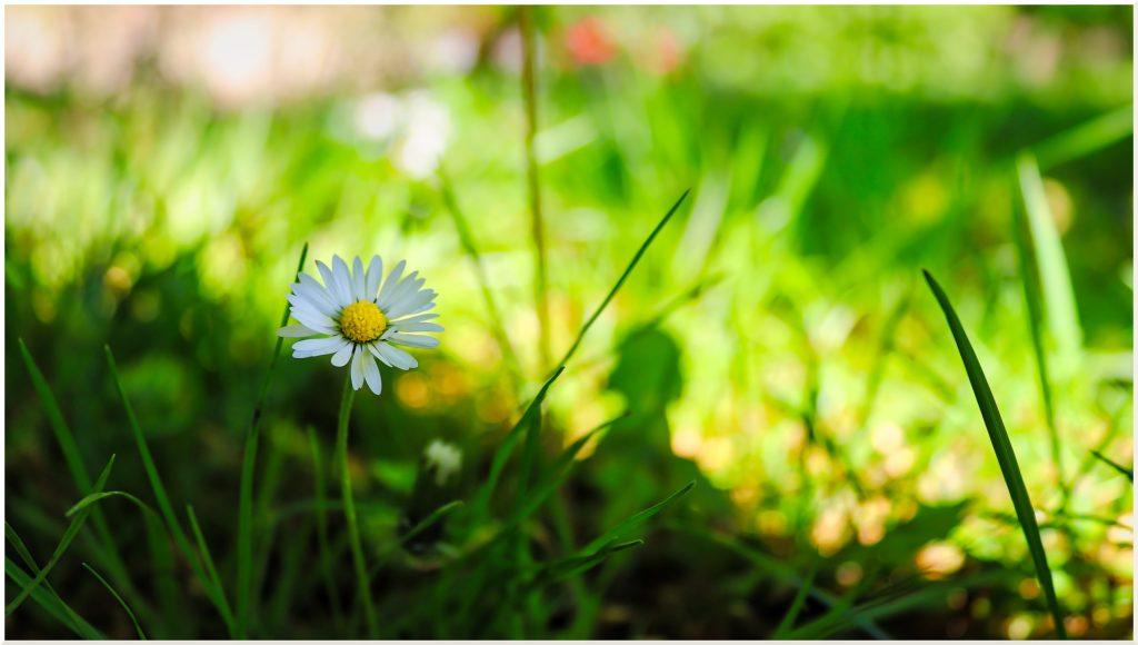 Flores de primavera: la margarita