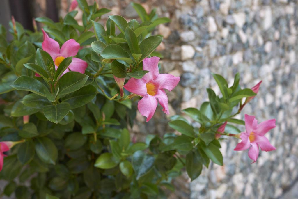 Flores de primavera para exposición al sol: dipladenia