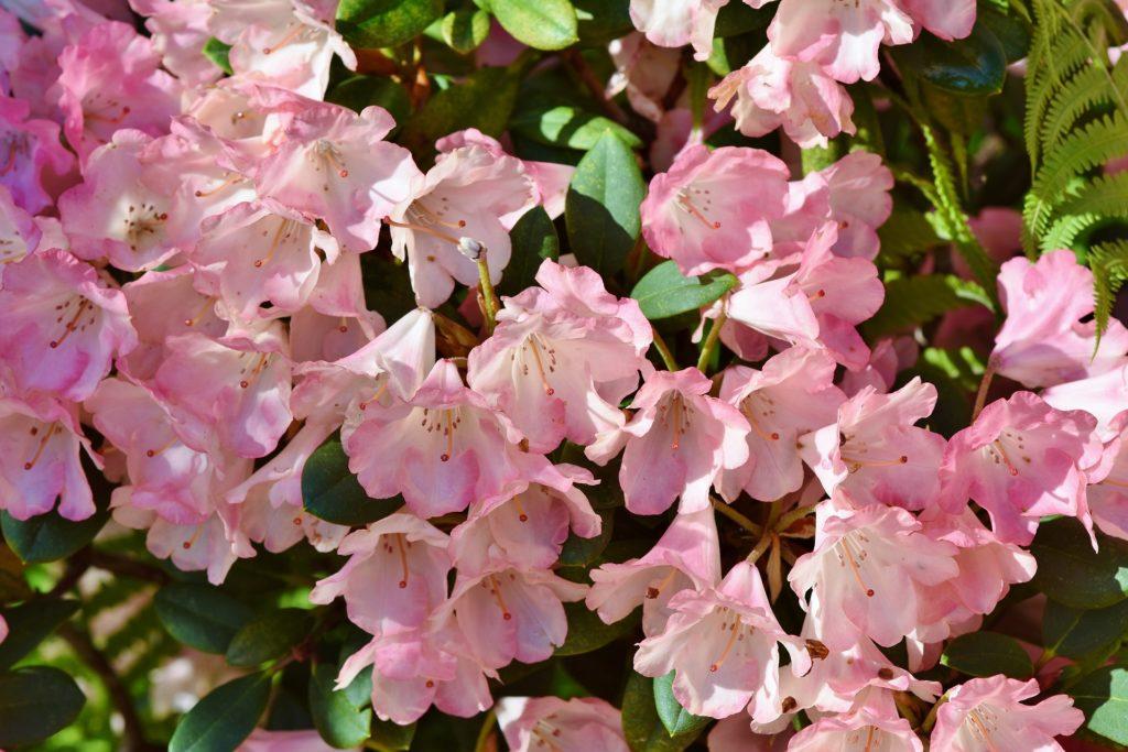Flores de primavera para exposición en sombra: rododendro