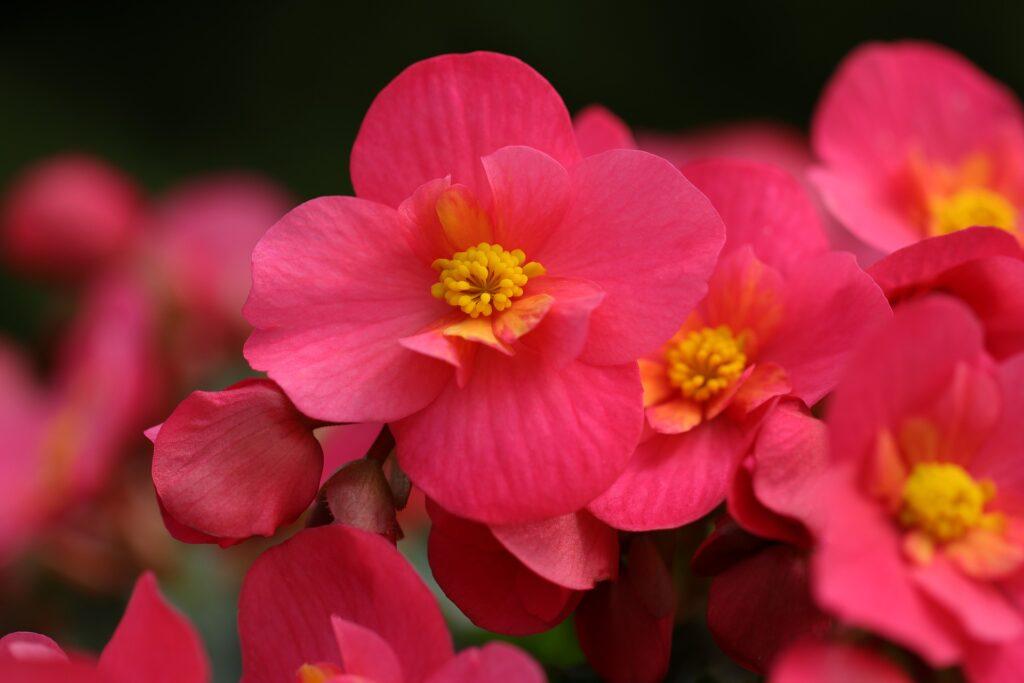 Flores de mayo: begonia