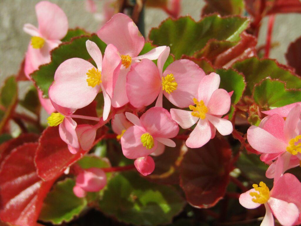 Begonia en flor. Flores del mes de mayo.