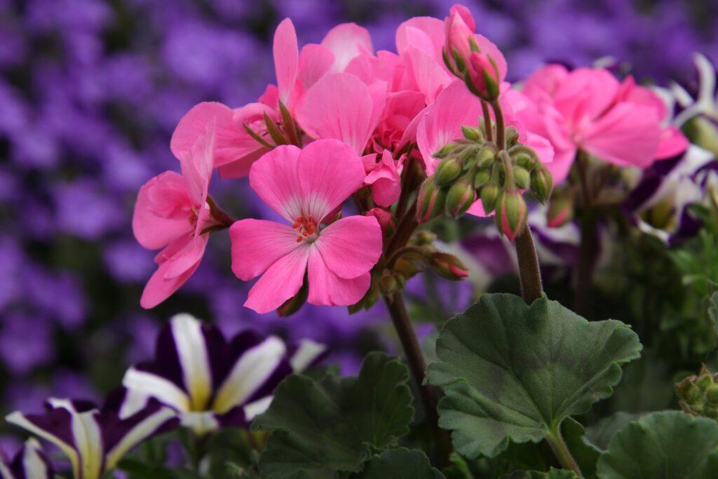 Flores de mayo: geranios