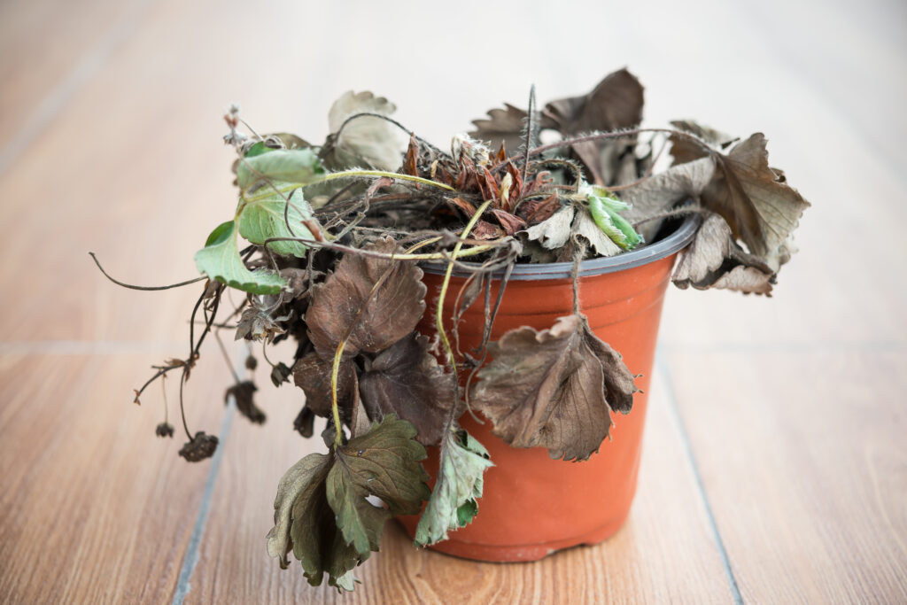 Planta mustia.