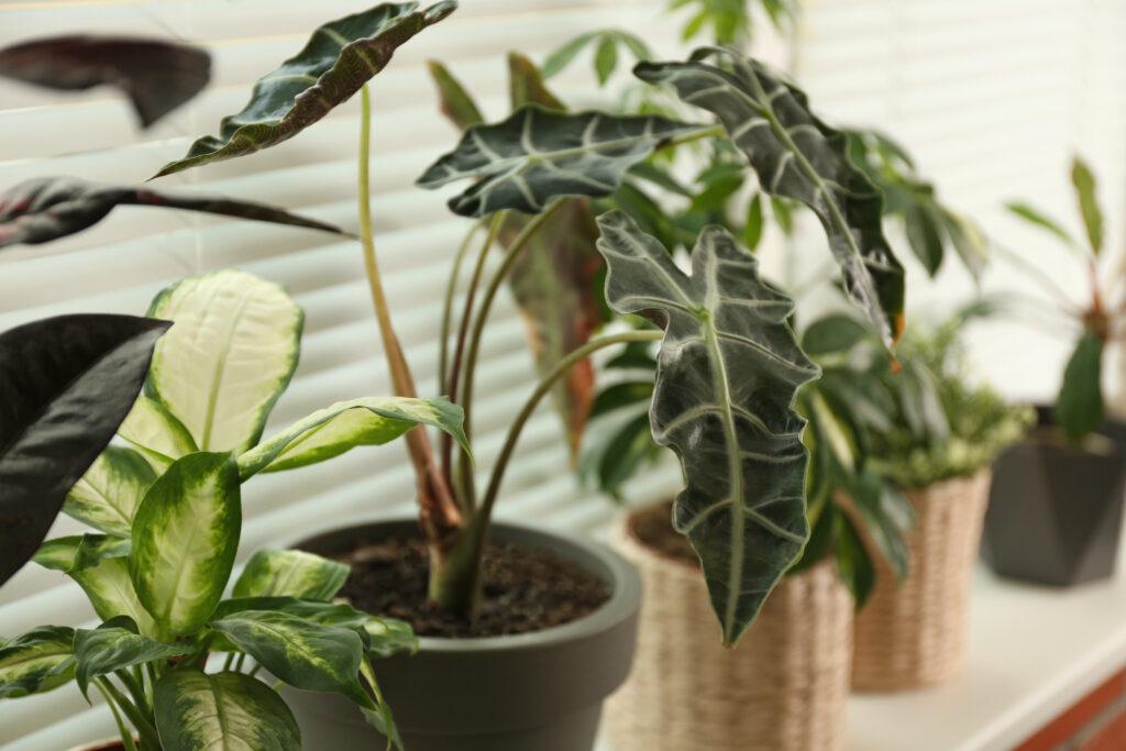 Plantas de hoja verde: alocasia amazónica