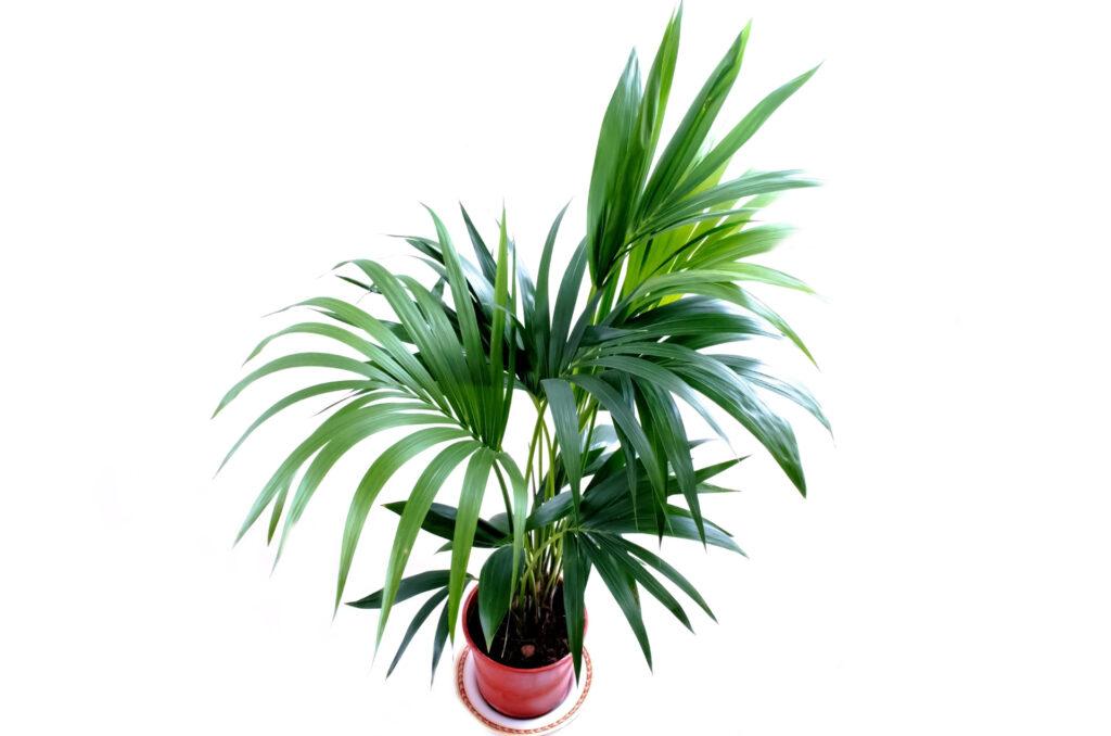 Plantas de hoja grande: Kentia