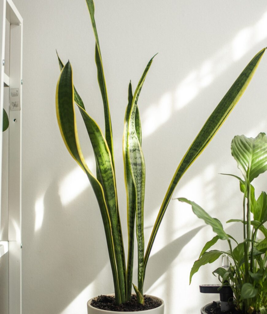 Plantas de hoja graden: sansevieria